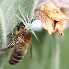Une Misumena vatia blanche sur de la Guimauve officinale vient de capturer une abeille. Certains scientifiques soupçonnent Misumena vatia de dégager une odeur attractive pour attirer ses proies.