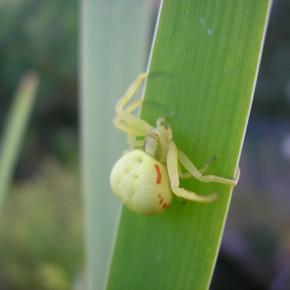 Le 6 août, une femelle avec un abdomen bien rond, se promène sur une feuille de Massette.