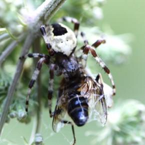 Araneus marmoreus vient de capturer une abeille et l'emmène dans sa retraite.