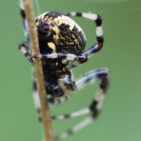 Les marbrures sur les côtés de l'abdomen ont donné le nom à l'Epeire marbrée.