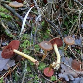 Le Cortinaire semi-sanguin pousse en petite troupe dans les forêts de conifères ou de feuillus.