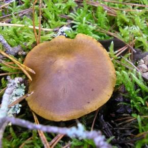 Le chapeau de Cortinarius semisanguineus, campanulé jeune, s'étale par la suite en gardant son mamelon caractéristique.