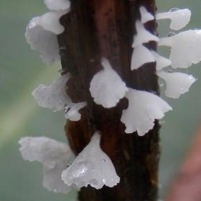 Les carpophores de Calyptella capula sont si fins, qu'ils ressemblent à des fleurs de dentelle.