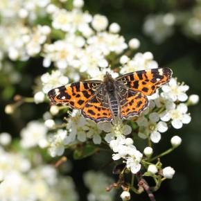 Araschnia levana forme levana, papillon de printemps issu d'une chrysalide ayant passé l'hiver. Le 26 mai 2012.