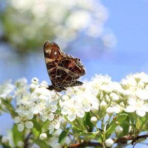 Le même, le dessous des ailes ne diffère pas entre les formes levana et prorsa. Sur cette photo, le papillon repose sur quatre pattes, les deux premières sont atrophiées, signe des Nymphalidae.