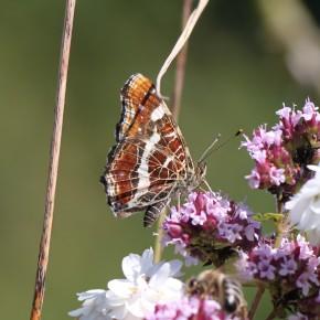 Même individu que le précédent, difficile de savoir qu'il s'agit d'une forme prorsa quand les ailes sont repliées. Fin juillet sur de l'Origan vulgaire, plante très appréciée par la Carte géographique.