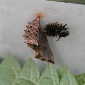 La dernière mue est souvent collée à côté de la chrysalide. La chenille est suspendue tête en bas.