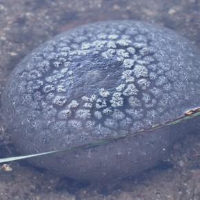 Pectinatella magnifica, Leydi 1851 – Bryozoaire magnifique