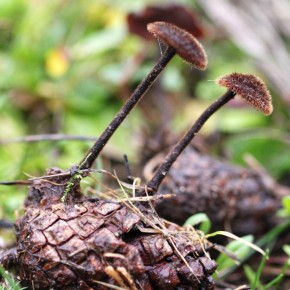 Auriscalpium vulgare pousse sur les cônes de pin enterrés, rarement sur du bois. Souvent par deux sur un cône, ici un cône de Pinus sylvestris.