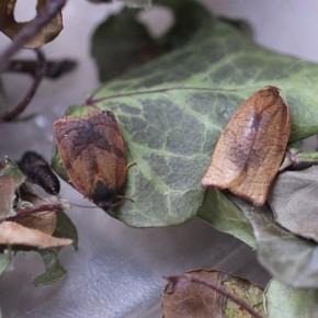 Cacoecimorpha pronubana, la Tordeuse de l'œillet.