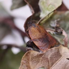 Un mâle, les ailes sont plus foncées, les taches plus marquées et la taille plus petite, LAA de huit millimètres.