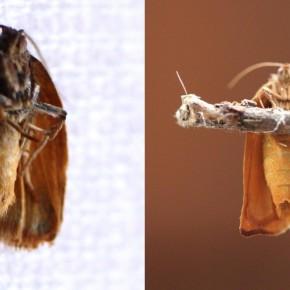 La différence de grosseur des abdomens est un signe caractéristique pour séparer mâle et femelle, en plus de l'habitus. Mâle à gauche et femelle à droite.