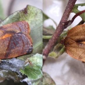 Les ailes postérieures chez Cacoecimorpha pronubana sont jaune-orangé frangées de noir chez les deux sexes.