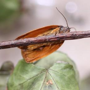 Les dessous orangés de la Tordeuse de l'œillet, ici un mâle.