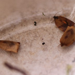 Un mâle et deux femelles issus de l'élevage des chenilles de Brigitte. Naissance janvier 2013.