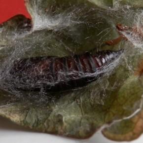 La chrysalide est protégée dans une feuille enroulée avec des fils de soie par la chenille, juste avant la nymphose.