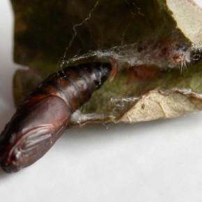 Vue dorsale de la chrysalide, on aperçoit la forme de l'œil et celle de l'antenne.