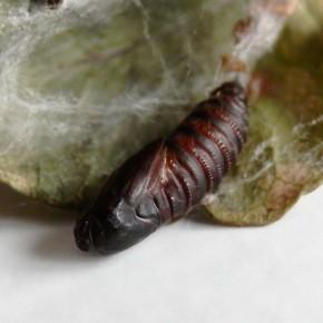 Vue ventrale de la chrysalide, avec les anneaux de l'abdomen.