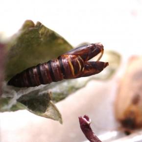 Une chrysalide ouverte après l'émergence d'un papillon.