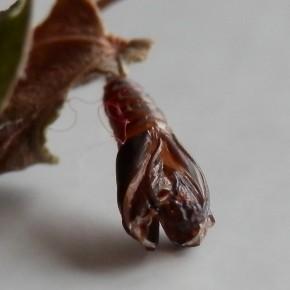 Une chrysalide ouverte sur laquelle les fourreaux des antennes sont remarquables.