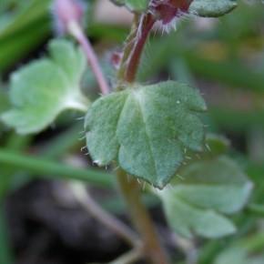 Les feuilles sont caractéristiques de Veronica hederifolia, couvertes de duvet. Le limbe terminal est plus large que les autres.