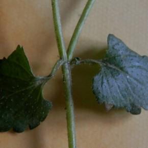 Les feuilles de la base des tiges sont opposées.