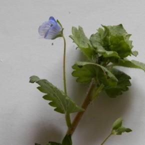 Le pédicelle de la fleur est deux à trois fois plus long que la feuille. La fleur dépasse les huit millimètres de diamètre.
