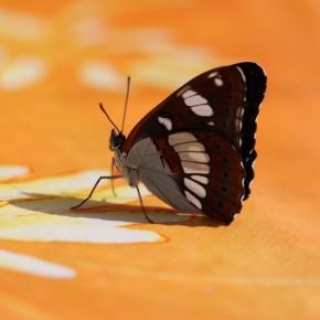 Limenitis reducta sur la table pour se fortifier les pattes. Quatre, signe des Nymphalidae.