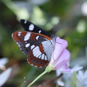 Le Sylvain azuré sur une fleur de liseron finit ses étirements, Que c'est bon le soleil ! Une seule rangée de taches noires sous les ailes postérieures, le Petit Sylvain en a deux.