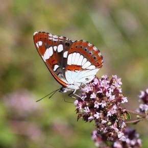 Et voilà, 2 août 2013, un papillon tout neuf me montre ses dessous en dégustant  la marjolaine du jardin.