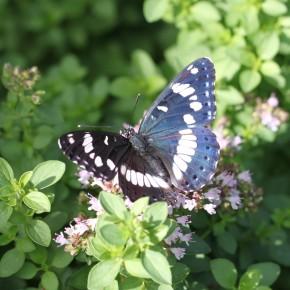 Le même me montre ses dessus sur une autre plante aromatique, quelques coups d'ailes plus loin. Agréable visite.