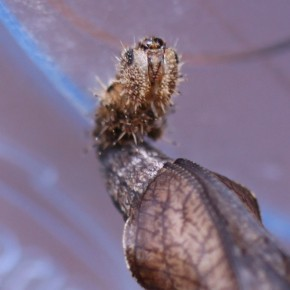 Comme souvent la dernière mue larvaire est restée près de la chrysalide.
