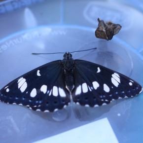 Et voilà l'heureux ou heureuse élu(e) qui se détend, qui s'étire. Diable ! Comment ce beau papillon tenait dans une si petite chrysalide ?  MAGNIFIQUE !