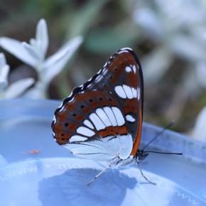 Bonjour le Sylvain azuré. Le dessous des ailes ne laissent aucun doute, une seule rangée de points noirs. Que c'est beau un papillon neuf !