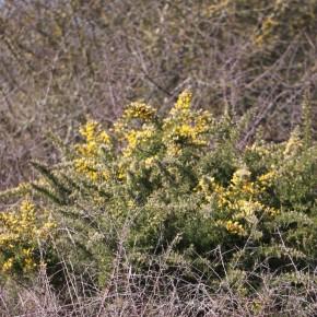 Un buisson isolé en lisière du massif de Lorris en forêt d'Orléans.