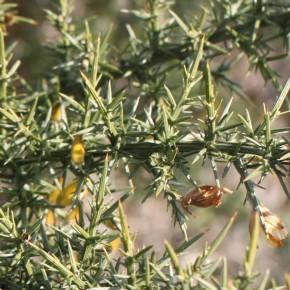 Les épines sont nombreuses et atteignent cinq centimètres de long, impossible de traverser un buisson.