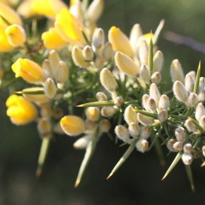 Les boutons floraux sont duveteux et blancs, les épines plus longues les protègent de la gourmandise des cervidés.