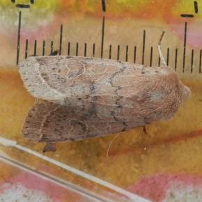 Mesure de la longueur de l'aile antérieure pour aider à la détermination. La règle est sous la boite et non sous le papillon.