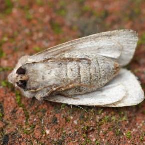 Les dessous de la Noctuelle du cerisier, l'extrémité pointue de l'abdomen guide vers une femelle.