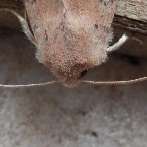 Les antennes filiformes désignent, elles aussi, une femelle d'Orthosia cerasi.