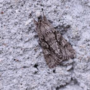 Découverte du papillon sur le mur en position de repos, le froid ne le dérange pas. Deux centimètres de longueur.
