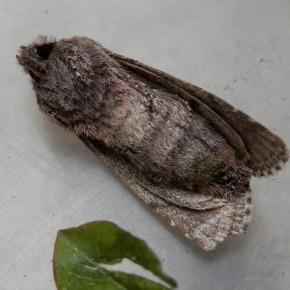 Les dessous de la belle avec des taches brunâtres, l'abdomen bien rond augure d'une ponte prochaine.
