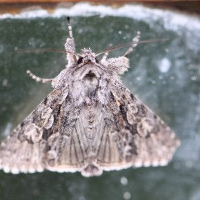Partie pour faire un tour. Avant le décollage certains papillons font vibrer leurs ailes. Technique pour réchauffer leur hémolymphe et augmenter leur capital énergétique? Nous apercevons malgré le flou, les rayures des ailes postérieures.