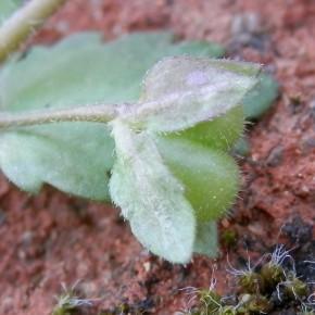Chez Veronica agrestis, les sépales sont séparés au moment de la fructification.