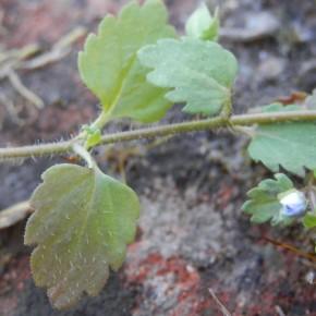 Les feuilles sont régulières, en limbe à neuf lobes aigus, pétiolées, opposées sur le bas de la tige, alternes sur le haut.
