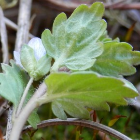 Le dessous des feuilles, comme le dessus, est légèrement poilus. Le vert est moins luisant que chez Veronica polita.