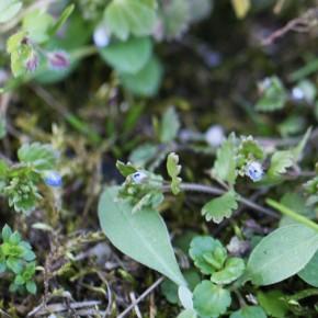 La Véronique agreste a la tige couchée et ramifiée. Elle fleurit dès le début mars.
