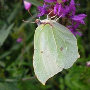Une femelle en août 2010, sous-famille des Coliadinae, les Gonepteryx se posent toujours les ailes fermées.