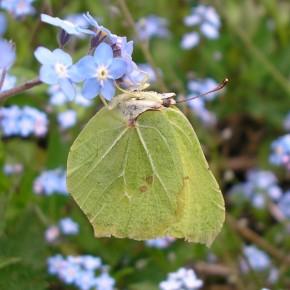 Un mâle bien usé en mai 2010 sur des Myosotis (Myosotis sp). La période hivernale a dû être dure.