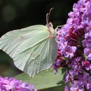 Le Citron ressemble à une feuille, la côte de l'aile antérieure est légèrement concave, l'aile postérieure est fortement dentée.